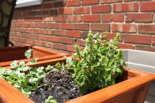 Basil and cilantro in a pot